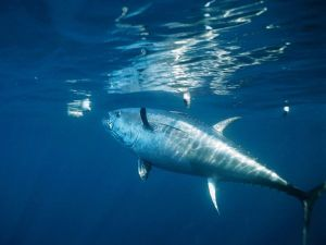 bluefin-tuna_478_600x450